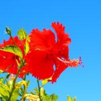 ハイビスカス、花の寿命は?