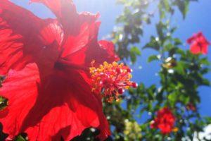 0803-hibiscus